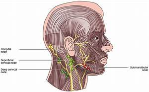 Lymph Nodes In Face And Neck  Buoy  2019