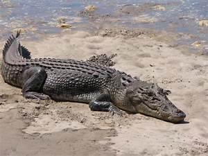 Saltwater Crocodile  Crocodylus Porosus   U00ab Australian Animals