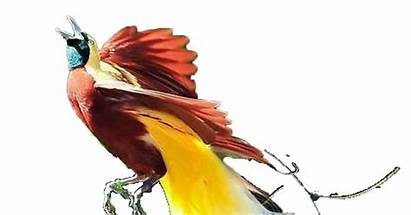 Merak Burung Gambar