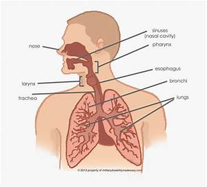 Lungs Connected To Throat  Hd Png Download   Transparent
