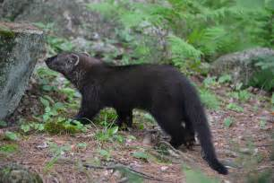 fisher cat pictures the laughing raccoon fisher and other updates