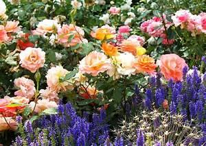 Rosenbeet Mit Stauden : buntes rosenbeet mit steppensalbei garden rosen beet rosenbeet und rosen ~ Frokenaadalensverden.com Haus und Dekorationen