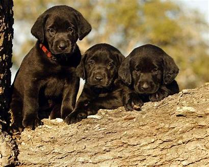 Labrador Retriever Puppies Wallpapers Puppy Dogs Lab
