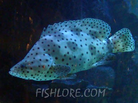 grouper panther fishlore