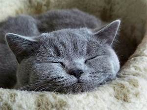 8 Reasons To Get A Russian Blue Cat Mashoid