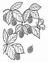 Coloring Pages Raspberries Blackberry Berries Fruits Printable Recommended Mycoloring sketch template