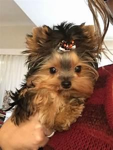 955 best Yorkies images on Pinterest   Doggies, Yorkies ...