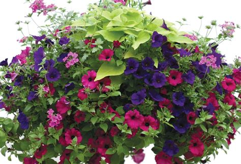 what plants are annuals sun hanging baskets hanging baskets annuals plants flowers niemeyer s landscape supply