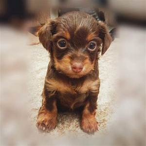 Russian toy terrier puppy for SALE   Blackpool, Lancashire ...