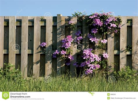plants that climb fences clamatis vine climbing on wooden fence stock photo image 868200