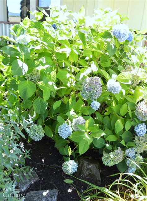 how do you prune hydrangea bushes pruning and deadheading in summer for fall color
