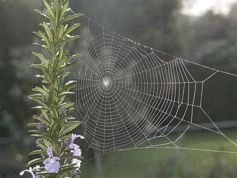 photo spiderweb web rosemary  image
