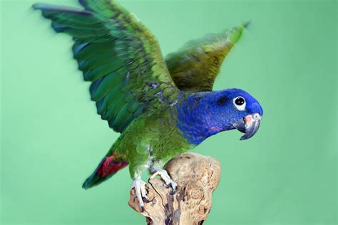 the pionus parrot maryland pets