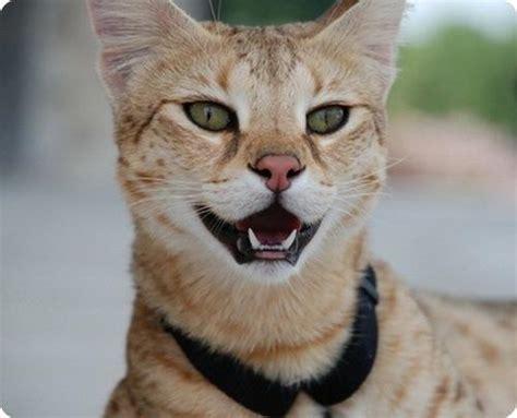 Lielākais kaķis pasaulē - Spoki