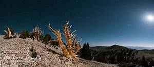 Ancient Bristlecone Pine Trees, Pinus longaeva, White ...