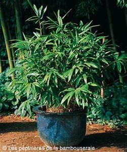 Bambou En Pot Pour Terrasse : choisir un bambou pour un pot ou une jardini re le magazine gamm vert ~ Louise-bijoux.com Idées de Décoration