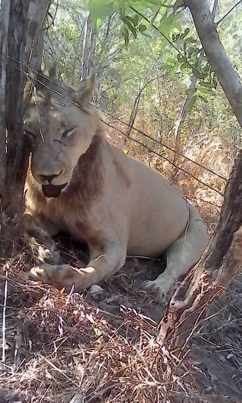 horrific  show lion killed  poachers snares