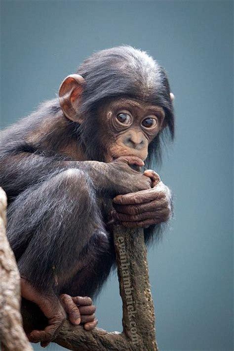 baby chimpanzee  cute luvbat