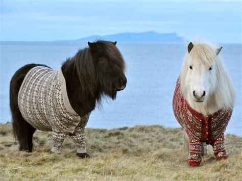 shetland ponies sweaters isles wear pony pets scotland cuteness funny today wool animal overload horses shetlands rob little jumper