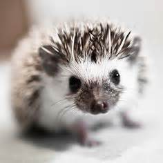 Heat L For Pygmy Hedgehog by 1000 Ideas About Baby Hedgehogs On Hedgehogs