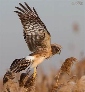 Image Gallery northern harrier hawk
