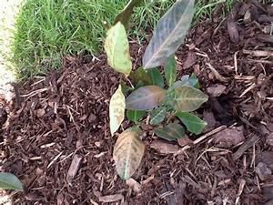 Kirschlorbeer Braune Blätter : kirschlorbeer braune bl tter kirschlorbeer braune bl tter ~ Lizthompson.info Haus und Dekorationen