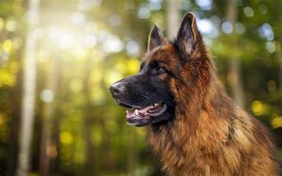 Shepherd German Dog Forest Wallpapers Dogs Desktop