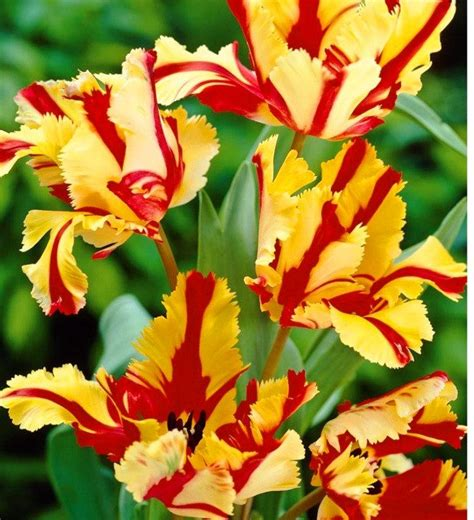 spring sale prechilled tulip bulbs flaming