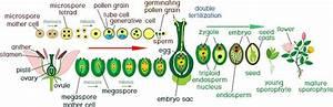 Angiosperm Livscykel Diagram  U00d6ver Livscykeln F U00f6r Blommande