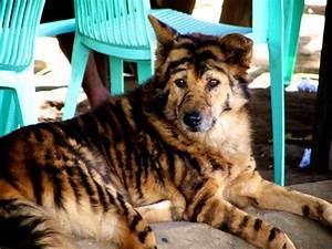 Tiger Dog | A wild tiger-dog found in Northern Burma ...