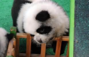 Panda Chow Dog Puppy