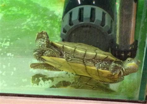 faqs about turtle behavior