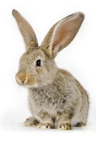 hd adorable  bunny wallpaper hd wallpapers