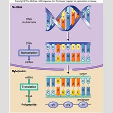 Dna Structure And Function, Genetic Engineering And Cancer