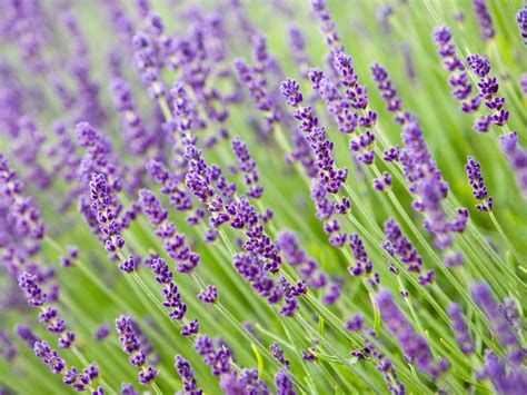 does lavender grow in florida how to grow fragrant lavender