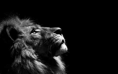 Lion 4k Wallpaper Lion 4k Wallpaper