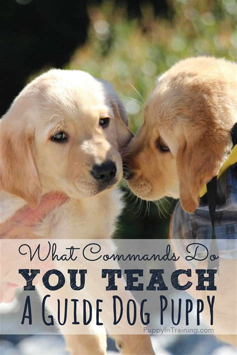What Commands Do You Teach a Guide Dog?