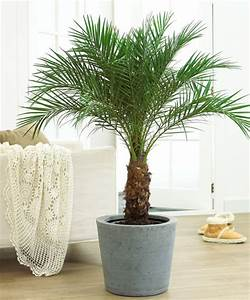 Buy Roebelenii Pygmy Date Palm Online Free Shipping Over