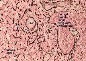 SECONDARY LYMPHOID ORGANS, Art Anderson's Immunology ...