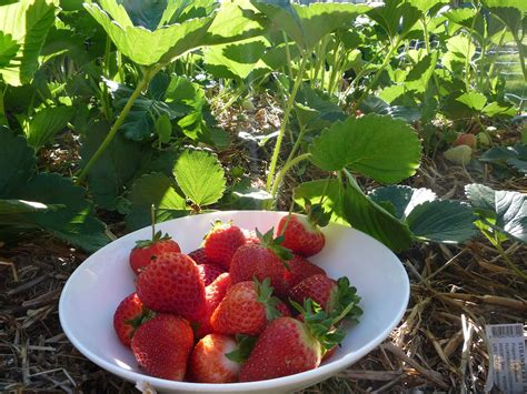 planting strawberries top tips for growing potatoes in small spacesbean there dug that