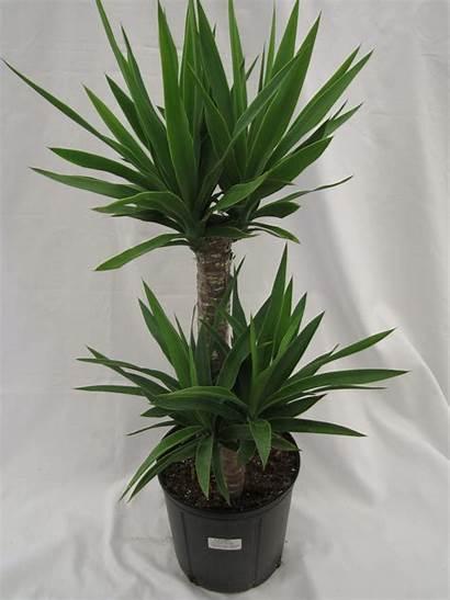 Yucca Cane Plant Tropical Plants Dracaena Miami