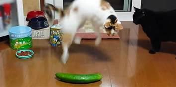cruel for cats cucumber craze is condemned third news