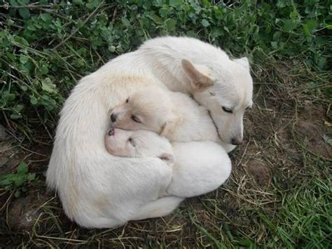 alopekis pariah dogs  ancient  wild dog breeds