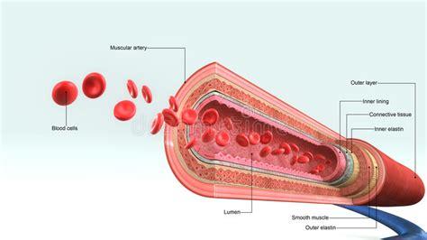 vaso sanguigno linfonodi delle arterie delle vene e nella vista