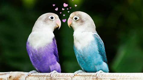 Blue Love Birds as Pets