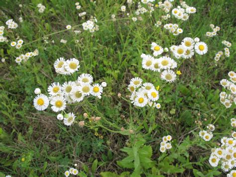 plant with like flowers weed with daisy like flowers pictures to pin on pinterest pinsdaddy