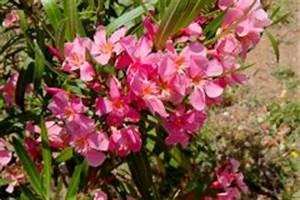Oleander Draussen überwintern : oleander samen so s en sie sie richtig ~ Eleganceandgraceweddings.com Haus und Dekorationen