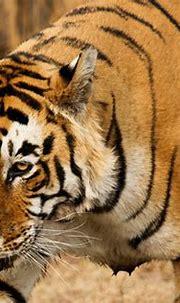 Bengal Tiger (male) | Dominant Male - Ranthambhore ...