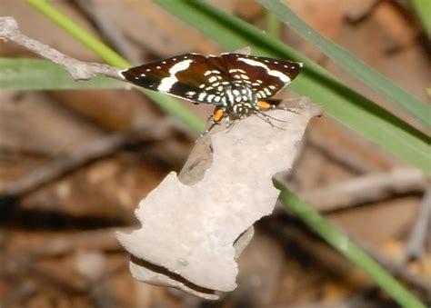 affinis dayflying moth idalima affinis