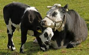 Animal Cruelty Dairy